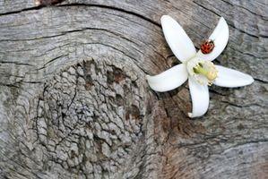 El significado de una flor de la flor de naranja