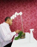 ¿Por qué las Hojas de orquídeas Obtener Limp?