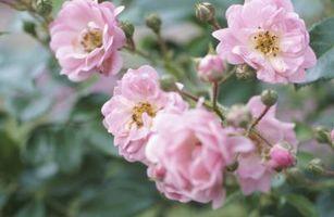 Los gusanos son comer las hojas y brotes de Rose