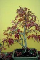 Mi arce japonés está dando vuelta Brown en los bordes de las hojas