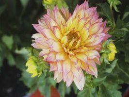 Bulbos de flores que tienen que ser desenterrado cada otoño?