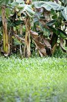 Los árboles tropicales enanos