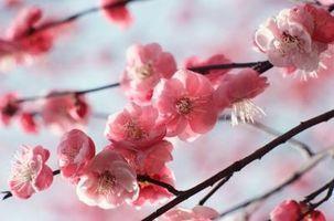 El llanto de los cerezos ornamentales