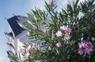 Las plantas son resistentes al fuego Oleander?