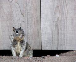 ¿Cómo deshacerse de gris de las ardillas en su ático