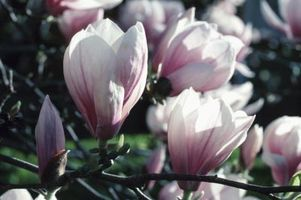 Cuidado de la magnolia árboles con hojas negras