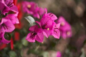 Bougainvillea: Flor Plantas del compañero