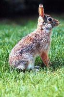 Los conejos están cavando Bajo mi cerca y la jerarquización en mi patio