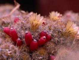 Los parásitos que destruyen higo chumbo