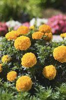 ¿Qué flores marchitas crecen de nuevo en los pétalos?