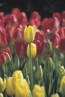 ¿Cuánto tiempo para crecer un tulipán?