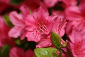 Las causas de las hojas amarillas de las plantas de la azalea