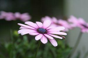 Cuidado de las plantas de Osteospermum