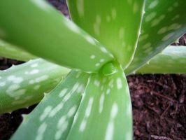 ¿Cuándo debo regar mi planta de Aloe?