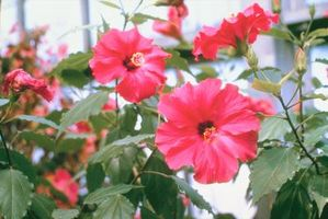 ¿Cómo crece una planta de hibisco?
