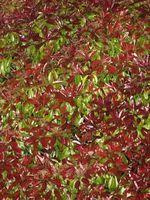 Insectos blancos en rojo Tip Photinia