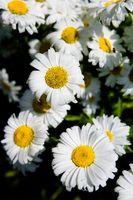 Las plantas de la margarita blanca