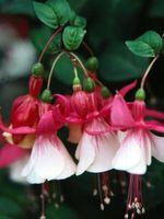 Enfermedades de las plantas fucsia y áfidos