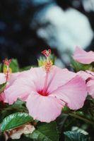 The Pesticide to Kill Bug de algodón sobre un hibisco