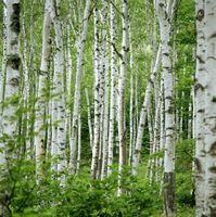 Tipo de clasificación de los árboles de abedul blanco