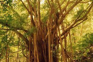 Datos de árboles ficus