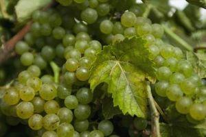 Cuándo y cuánto para podar arbustos de uva?
