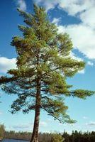 Herbicida para matar a los árboles de pino