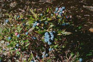Un arándano Bush con las hojas marrones