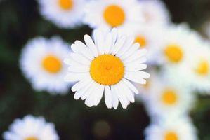 Características de la margarita de ojo de buey
