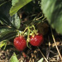 Requisitos Honeoye fresa de fertilizantes