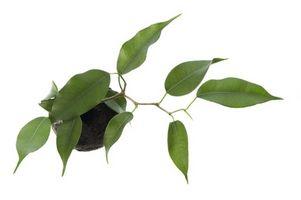 La identificación del árbol ficus
