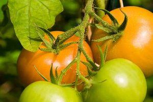 ¿Qué tipo de planta de tomate Se debe utilizar para una revuelta?