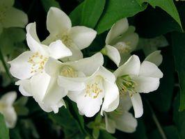 Cuál es el significado de la flor del jazmín?