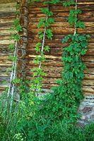 Es decir Lúpulo anual o perenne y puede usted lo planta De la semilla?