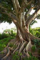 Tamaño del árbol ficus
