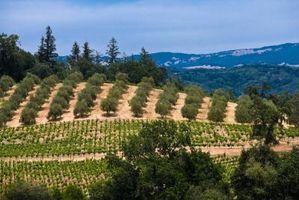 ¿Por qué son los olivos plantados alrededor viñedos?