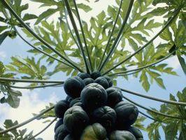 Cómo desenterrar un árbol de papaya
