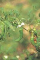 Cómo plantar las semillas de Chile de Arbol