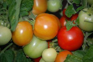 ¿Cuánto calor puede Tolerar las plantas de tomate?