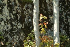 Árbol de abedul con gusanos