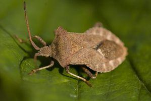 ¿Cómo deshacerse de los insectos de la calabaza en plantas de calabaza