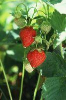 Cómo cultivar fresas Everbearing