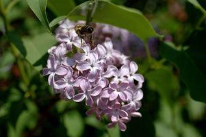 ¿Cómo recortar arbustos de lilas maduros