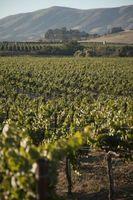 ¿Qué tipo de fertilizante a utilizar en vides de uva?