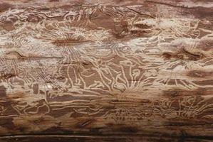 Cómo matar a los escarabajos perforadores de la madera en Cedar