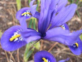 Diferentes tipos de flores de iris