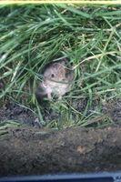 Cómo exterminar roedores campañol en un patio