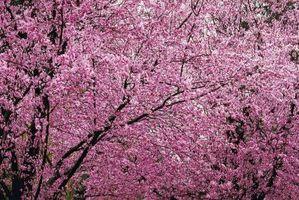 Los árboles ornamentales de ciruelo floreciente
