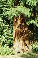 Los brotes que crecen bajo los árboles de cedro