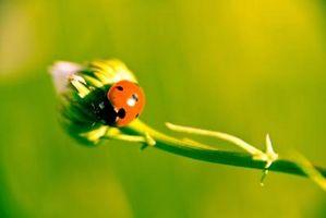 Mis insectos que comen arbustos mariposa